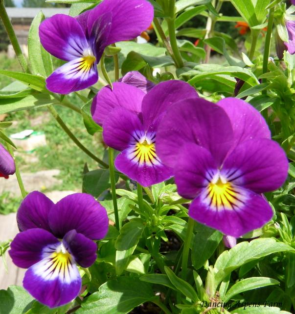 Volunteer Violas in my planter...