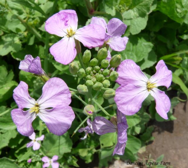 Radish blooms...