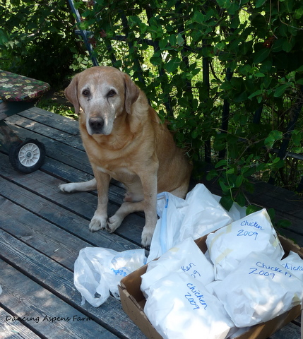 Boomer, my dads dog guarded the final product!