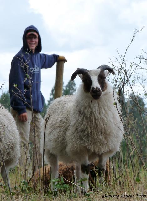 Sawyer's Icelandic Lamb