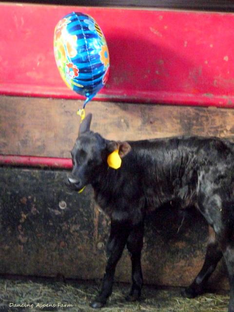A Black Angus Heifer Calf...