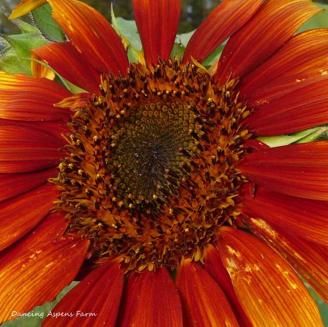 Red Sunflower...