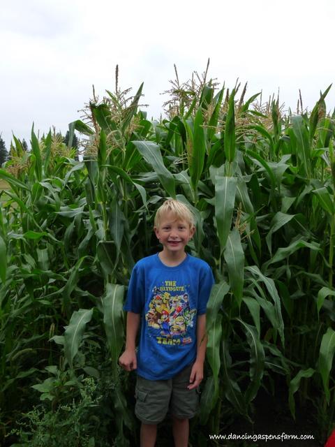The corn is over Mark's 6 foot head and way over Garrett's.