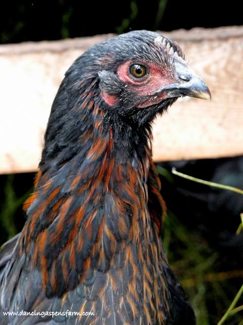 Black Star hen...