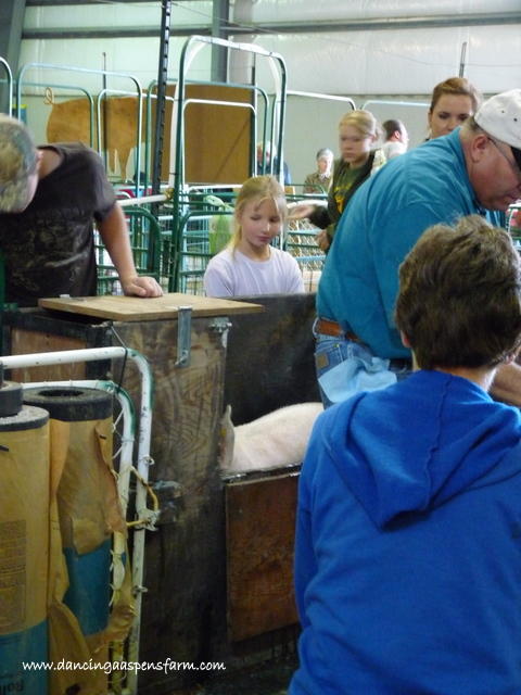 Maddie's pig being weighed in...