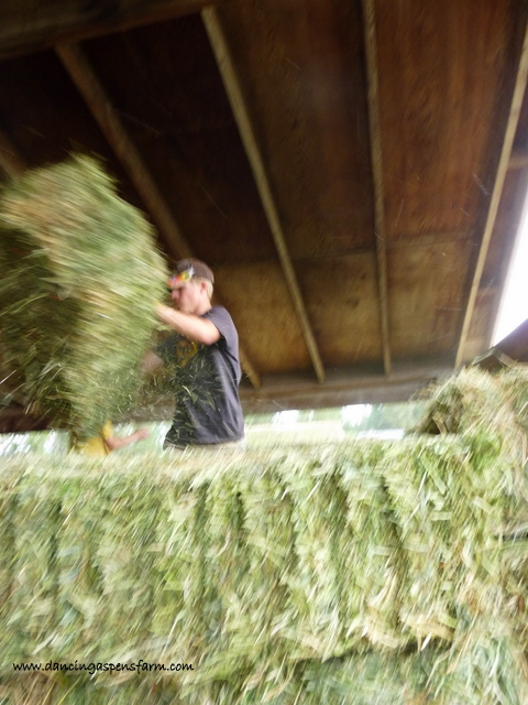 Sawyer bucking bales...