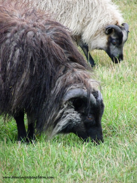 A black grey ram and black badgerface ram in the background...