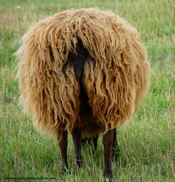 A fluffy moorit ewe...