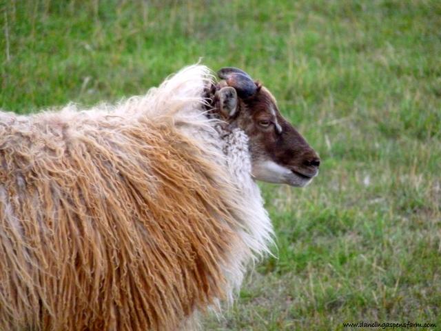 A moorit gray mouflon ram...