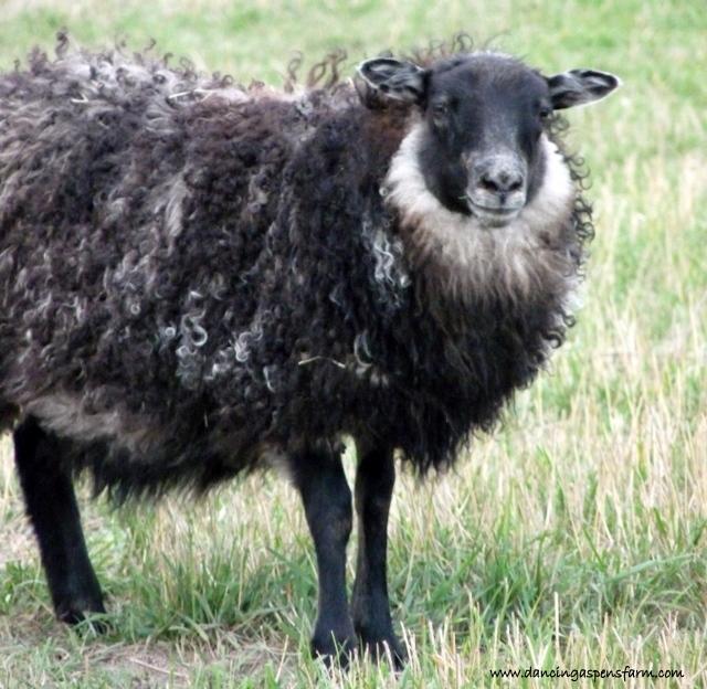 A black grey ewe...