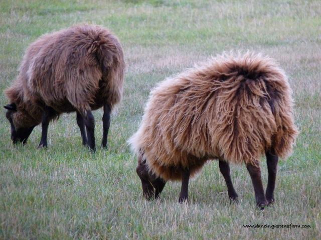 Icelandic ewes...