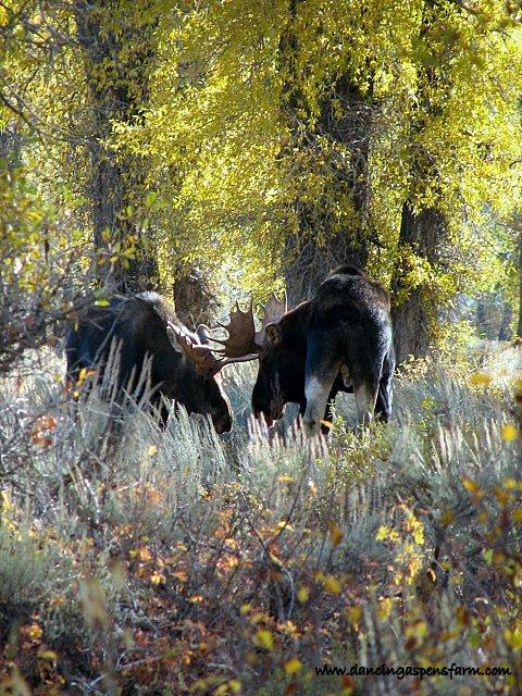 Bull Moose Fighting...