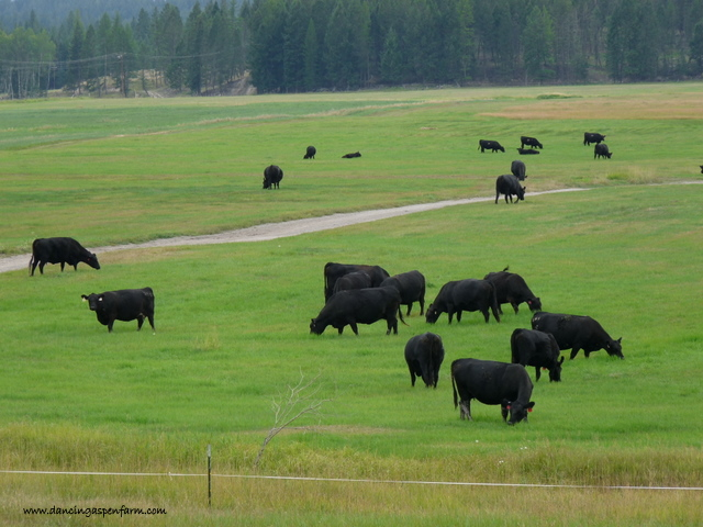 Don't those black angus cows look pretty on the green, green grass?
