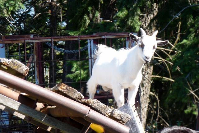 Pygmy goat baby...