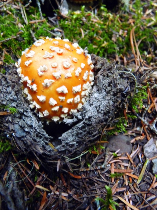 Orange Mushroom...