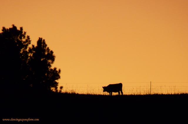 Calf-Butterscotch