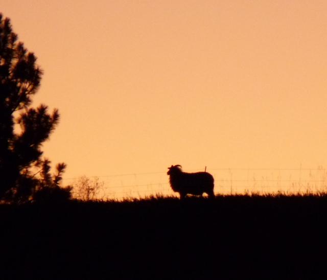 Icelandic Ewe at sunset