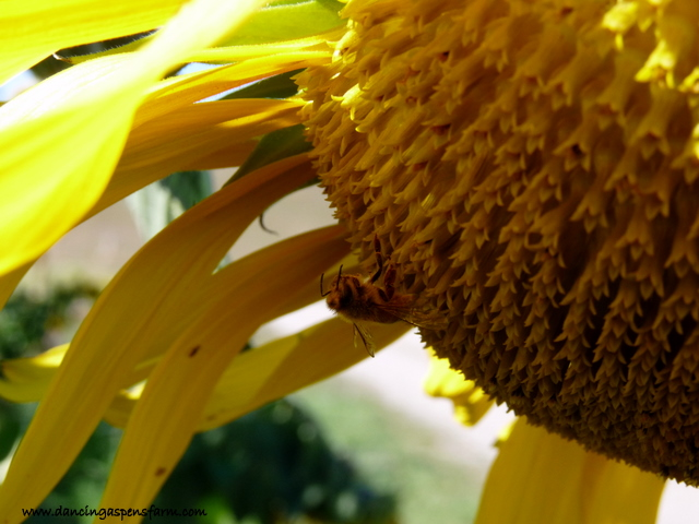 Honeybee and sunflower...