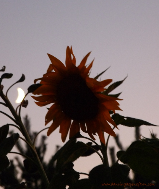 Sunflower and moon...