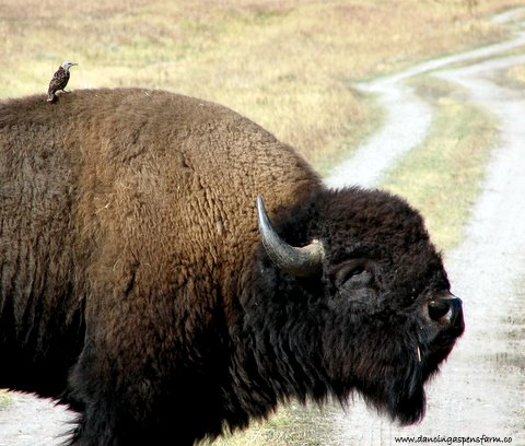 Bison and