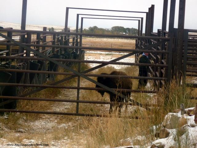 Sorting bison...