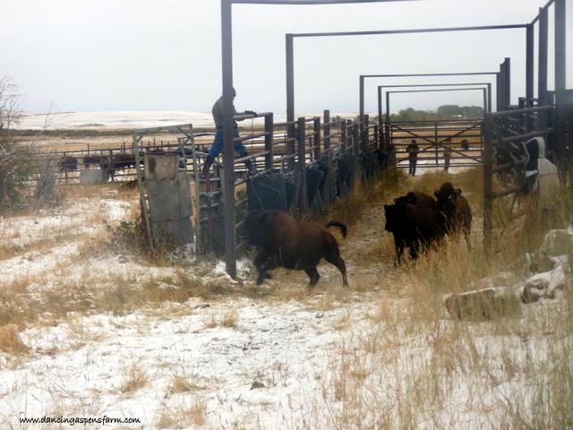More bison...